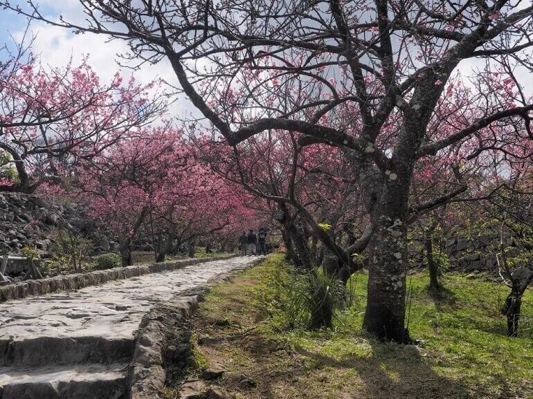 今帰仁城登城路、カンヒザクラ、早春