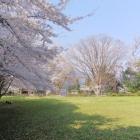 主郭の見事な桜