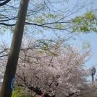道中に咲いていた桜