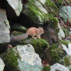 石垣に動くものを見つけ夢中でシャッターを押したところなんと縞栗鼠