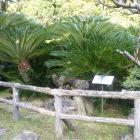 広沢寺の蘇鉄。加藤清正が朝鮮から運んだもの。