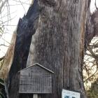 落雷で焼失後。900歳の大杉