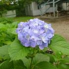 お盆時期に紫陽花