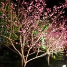 七五三の階段沿いに桜が咲き誇ってました
