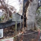 つい最近落雷で消失した大杉