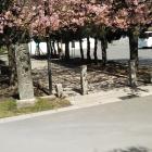 河津桜、きれいです。