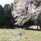 同左山桜拡大