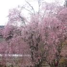 荘厳寺の枝垂桜。