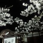 本丸御殿と夜桜。