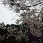 黒田家紋の藤巴と桜。