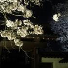 裏門と夜桜。