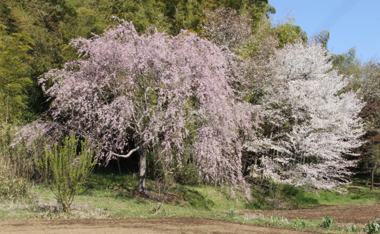 東木戸辺り桜、左上が北郭方面