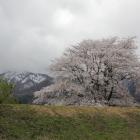 土塁越えの桜