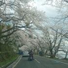 海津大崎桜並木