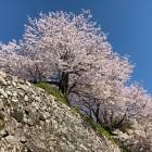 石垣と桜③