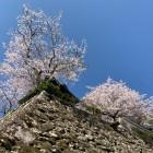 石垣と桜①