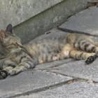 観光客に囲まれてもリラックスなキジ猫