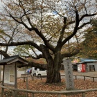 本丸跡 桜の標準木