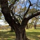 内館(だて)の桜の大樹