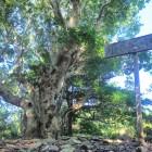主郭に植わるヤマモモの大木