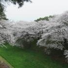 西の丸と三の丸の間の空堀沿いの桜並木