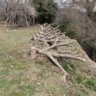 模擬逆茂木、善福寺曲輪土塁上