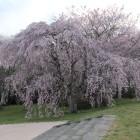 政庁基壇南側下がる階段横の桜