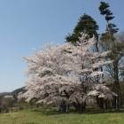 本丸、石碑の大桜