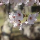 人吉城下の桜