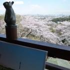 展望台からの桜