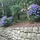 紫陽花が綺麗