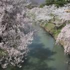 内堀と土塁に咲く桜