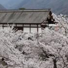 戌亥隅櫓台より桜に浮かぶ太鼓門を望む