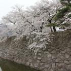 東内堀、東側本丸石垣上の桜