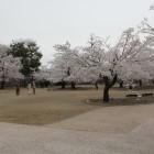 本丸内部の桜