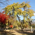 清正馬留の枝垂れ桜