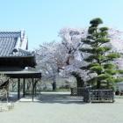 弘道館政庁至善堂と桜