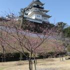 二の丸庭園より、掛川桜ちらほら咲