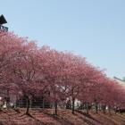 逆川東側の掛川桜