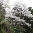 葛城山下山途中の桜。今日一。