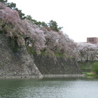 西の丸石垣と桜