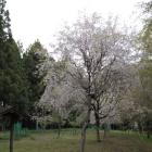 馬場跡、枝垂れ桜が残ってた