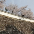 数奇屋曲輪高石垣、白漆喰土塀と桜