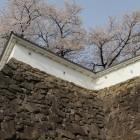 数奇屋曲輪、櫓台の高石垣、土塀と桜