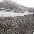 鍛冶曲輪南堀側の石垣と白漆喰土塀と桜
