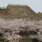 水堀外より、天守曲輪の桜と天守台