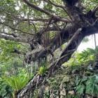 龍の形の木 その2