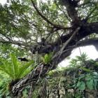 龍の形の木 その1