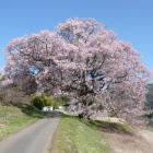 本曲輪横の一本桜
